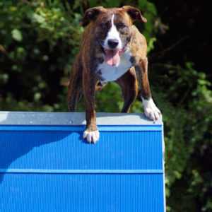 jayce agility chiens