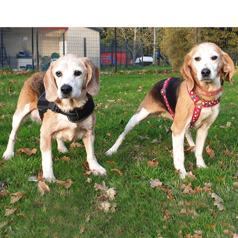 Beagle en sauvetage